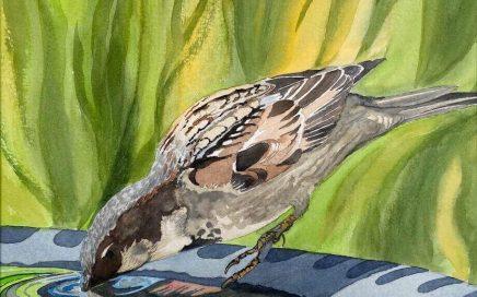 Sparrow Drinking: Tim Barraud